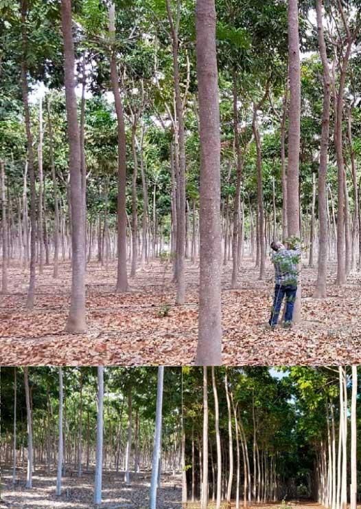 Florestas de Mogno Africano com 10 anos